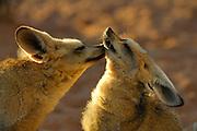 Bat-eared fox (Otocyon megalotis) | Löffelhunde (Otocyon megalotis) sind gesellige Tiere - einzeln in Gefangenschaft gehalten vegetieren sie dahin, wirken verschüchtert und gestresst. Dieses Päarchen geht seinem Bedürfnis nach Körperkontakt und sozialer Fellpflege nach. Männchen und Weibchen sind kaum voneinander zu unterscheiden. Ihre Jungtiere ziehen sie gemeinsam groß und teilen sich in dieser Zeit des Jahres auch einen festen Bau. Sind sie ohne Jungtiere, wechseln sie ständig ihren Aufenthaltsort und sind dann noch schwerer in freier Wildbahn anzutreffen. Ob Löffelhunde monogam leben oder von Saison zu Saison ihre Partner wechseln ist noch nicht eingehend erforscht.