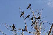 flock of Tristram's Starling or Tristram's Grackle (Onychognathus tristramii). Photographed in Israel, Dead Sea, in November