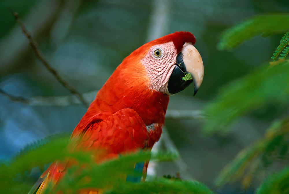 A macaw in the trees of the Amazon rainforest.