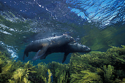 A pair of playful young Guadalupe Fur Seals, Arctocephalus townsendi, cavort in the shallows. Guadalupe Island, Mexico, Pacific Ocean