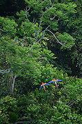 Scarlet Macaw (Ara macao)<br /> Rainforest<br /> Rupununi<br /> GUYANA<br /> South America