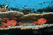 Blotcheye soldierfish, Myripristis berndti, hiding between table corals on coral reef, Maldives, Indian Ocean