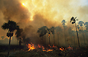 BURNING CROPS, Amazon, near Boavista, northern Brazil, South America. Slash and burn cultivation. A campesino burns his crops after the harvest. He will plant again using the ashes as fertilizer. This region was primary rainforest, and ecological biosphere and fragile ecosystem where flora and fauna, and native lifestyles are threatened by progress and development. The rainforest is home to many plants and animals who are endangered or facing extinction. This region is home to indigenous primitive and tribal peoples including the Yanomami and Macuxi.