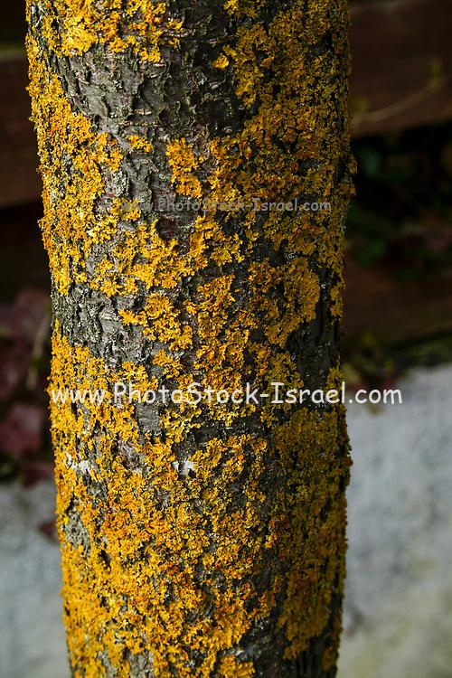 Orange Lichen on a tree trunk