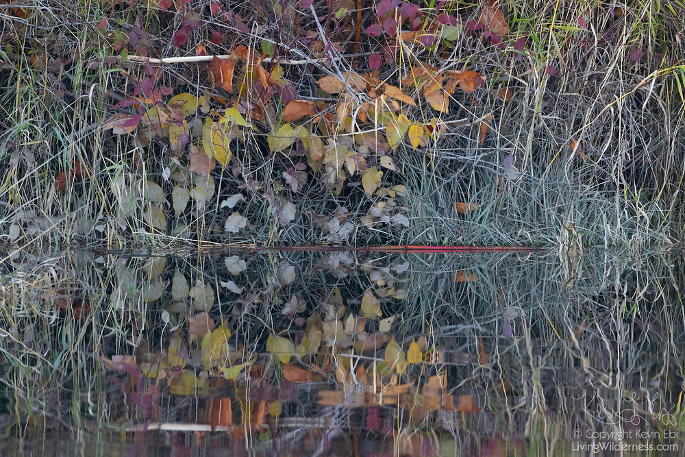 Among the grass, leaves showing a variety of fall colors are reflected onto the almost still waters of Ebey Slough in Snohomish County, Washington.