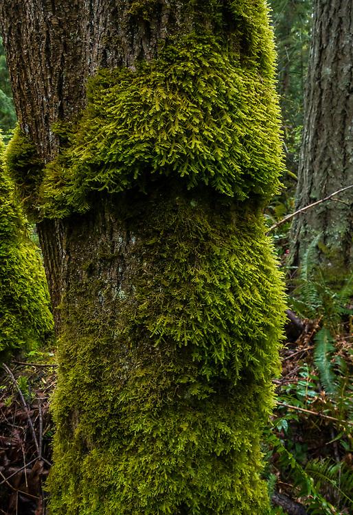 Moss covered tree trunks, Tiger Mountain, Cascade Mountains, Washington State, USA.