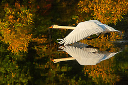 """Congratulations to our top winners from our first competition of the year: """"Janet MacCausland - Mute Swan taking off, Class B """"-HDCC. Judged by New England Camera Club Council (NECCC).<br /> Photographic Society of America (PSA) and the New England Camera Club Council (NECCC). Hockomock Digital Camera Club (HDP) is a member in good standing with the nationally recognized, Photographic Society of America (PSA)<br /> and the New England Camera Club Council (NECCC). Janet MacCausland has recently joined the HDCC group."""