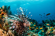 Common Lionfish (Pterois volitans)<br /> Raja Ampat<br /> West Papua<br /> Indonesia