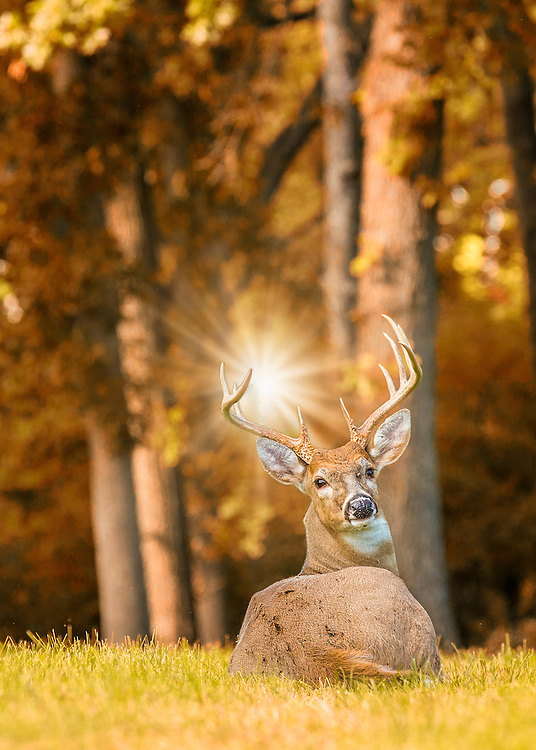 A buck notices me approaching as he takes a load off in a grassy field beyond the trees as Autumn colors begin to set in