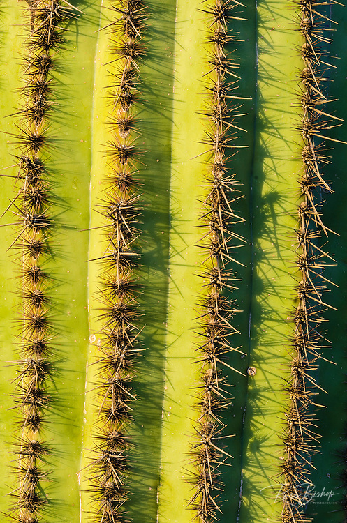 Organ Pipe cactus detail, Organ Pipe Cactus National Monument, Arizona USA