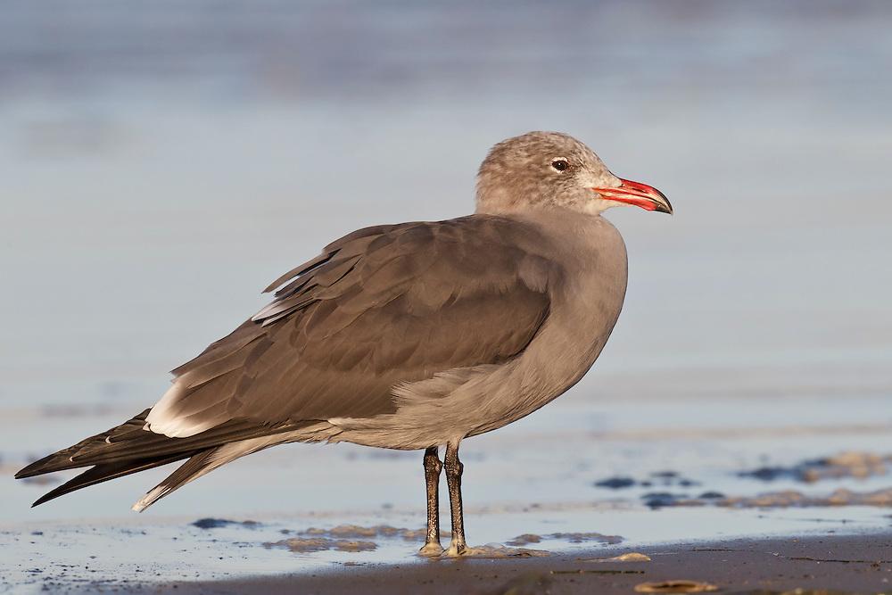 Heermann's Gull - Larus heermanni - non-breeding adult