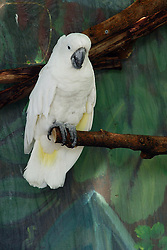 05 June 2005:   The white cockatoo, also known as the umbrella cockatoo, is a medium-sized all white cockatoo endemic to tropical rainforest on islands of Indonesia. When surprised, it extends a large and striking head crest, which has a semicircular shape.