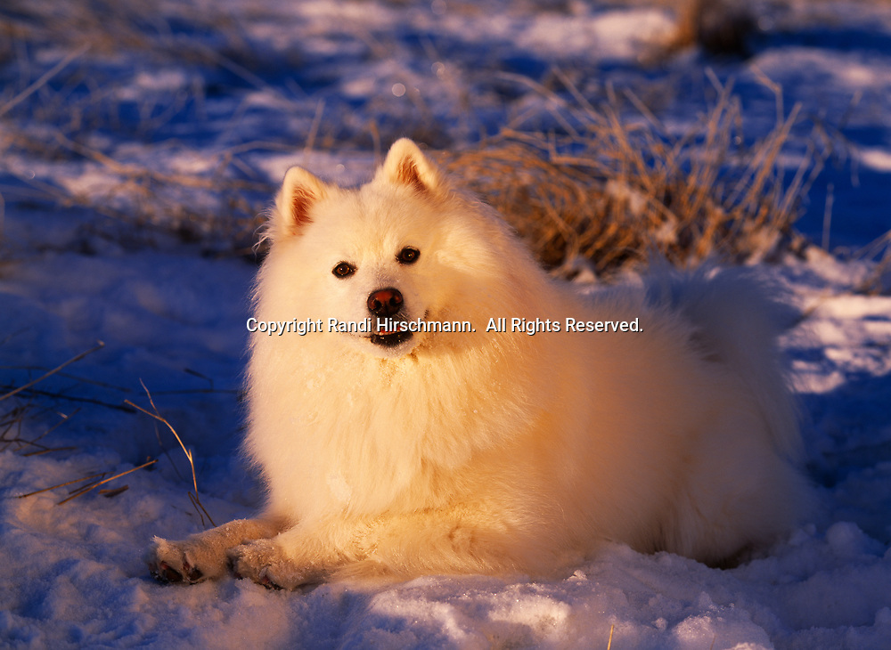 """American Eskimo Dog, AKC, 2-year-old """"Todd"""" photographed at the Bluff Park Farm in Wasilla, Alaska and owned by Emily and Randy Johnson of Anchorage, Alaska.  (PR)"""