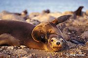 Galapagos sea lion and pup, Zalophus californianus wollebaeki, South Plaza Island, Galapagos Islands, Ecuador, ( Eastern Pacific )