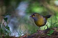 Taiwan Liocichla, Liocichla steerii, endemic species, Alishan National Recreational Forest, Taiwan