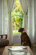 """Boxer staring out window during """"shelter in place"""" order due to COVID-19."""