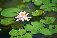 Water lily in gardens, Hong Kong, Hong Kong, August 2008   Photo: Peter Llewellyn