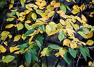 Wonderful colors of warm, golden yellows and deep greens adorn the leaves of a dwarf Weeping Cherry tree.  The leaves grace the arching branches, looking like a fountain of falling leaves.A painterly rendering is applied to best reveal the natural textures.