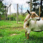 20120420 Shady Apple Goat Farm