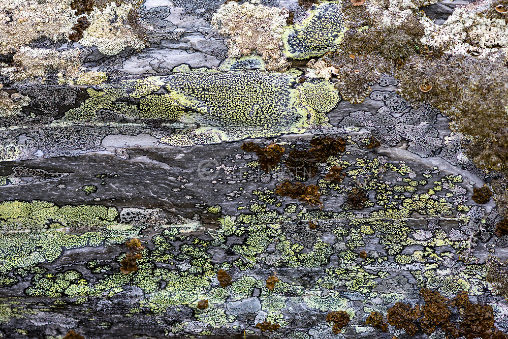 Common map lichen (Rhizocarpon geographicum) and several other species of lichens growoing on rocks at 1000 meters elevation close to Rondane (Innlandet county) easern Norway.
