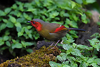 Red-faced Liocichla, Liocichla phoenicea, bird sitting on the ground with leaves in Baihualing, Gaoligongshan, Yunnan, China