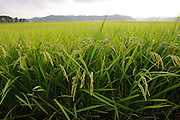 A rice paddy near Brown's Field, Isumi, Chiba Prefecture, Japan, August 8, 2009.The organic farm introduces healthy and sustainable living in the Japanese countryside. It is staffed by the Brown family and volunteers from around the world.