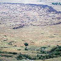 Africa, Kenya, Masai Mara. Wildebeest migration in the Maasai Mara.