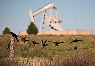 Birds on a wire fence near a punp jack in Midland, Texas in the Permian Basin.