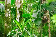 Perezoso de dos dedos de Hoffmann / Parque Nacional Camino de Cruces, Panamá.<br /> <br /> Edición de 10   Víctor Santamaría.<br /> <br /> Hoffmann's two-toed sloth / Camino de Cruces National Park, Panama.<br /> <br /> Edition of 10   Víctor Santamaría.