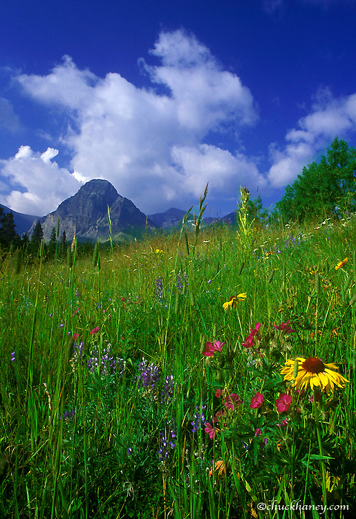 Prairie Wildflowers in the Cut Bank Valley of Glacier National Park, Montana, USA