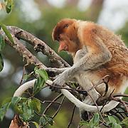 Proboscis monkey (Nasalis larvatus) Sekonyer river, Tanjung Puting National Park. Borneo