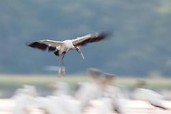 Wood Storks, Lemon Lake, Great Trinity Forest near Trinity River, Dallas, Texas, USA.