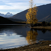 The leaves on the trees at Glendhu Bay on the edge of Lake Wanaka start to change colour as the seasons change and Autumn approaches showing Mount Aspiring in the distance. Wanaka is  a year round destination set against the pristine alpine backdrop of Mount Aspiring National Park in Central Otago. South Island, New Zealand. 30th March 2011. Photo Tim Clayton.