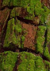 Bark Detail on Fragrance Lake Trail, Larrabee State Park, Bellingham, Washington, US