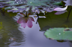 June 11, 2017 - Nanjing, Nanjing, China - Nanjing, CHINA-June 11 2017: (EDITORIAL USE ONLY. CHINA OUT) ..Blooming lotus flowers can be seen at Guangxi University in Nanning, south China's Guangxi, June 11th, 2017. (Credit Image: © SIPA Asia via ZUMA Wire)