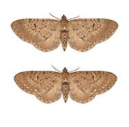 70.176 (1827)<br /> Freyer's Pug - Eupithecia intricata<br /> top= Freyer's Pug<br /> bottom = Edinburgh Pug