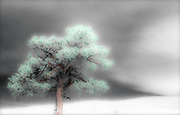 Lone pine tree, selectively colored black and white infared, Utah, USA