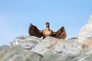 Cormorate standing behind a rock and sundrying it's wings | Skarv som står bak et berg og soltørker vingene.