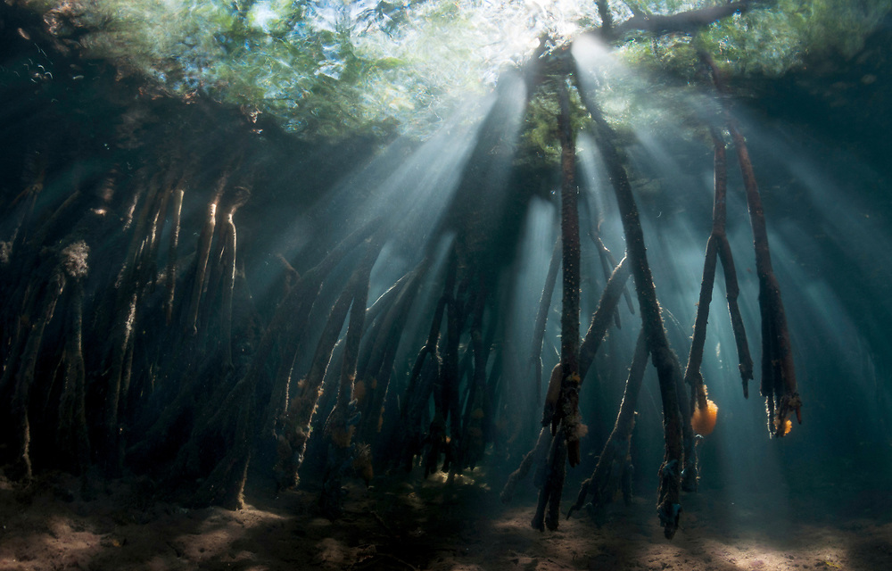 Dramatic underwater scene of red mangroves and the morning light pouring through.