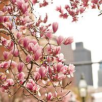 Magnolia trees blossoming on Beacon Street, Boston