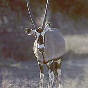Gemsbok, (Oryx gazella) Lone bull in bushveld. Evening. Kalahari Desert. Africa.