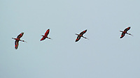 Scarlet Ibis Flying Above Caroni Bird Sanctuary. Port of Spain, Trinidad. The immature birds must be molting to their adult scarlet feathers. Image taken with a Nikon D3s and 70-300 mm VR lens (ISO 200, 230 mm, f/5.6, 1/500 sec).