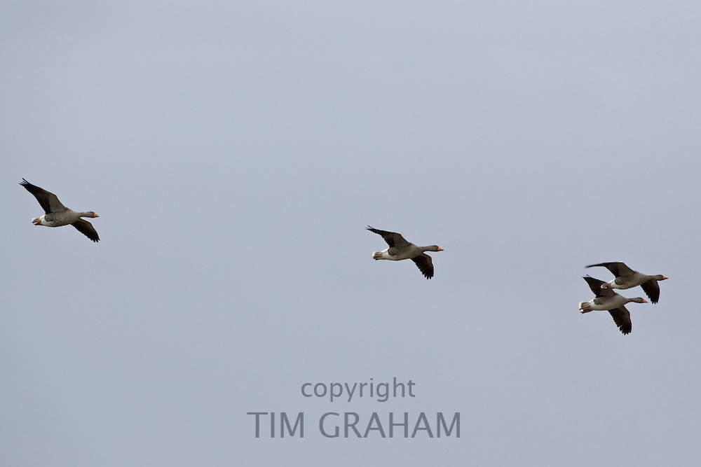Migrating Pink-Footed geese in flight over Holkham on the North Norfolk coast, East Anglia, Eastern England