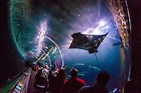 Manta rays, Aquarium of the Bay, Fisherman's Wharf, San Francisco, California USA