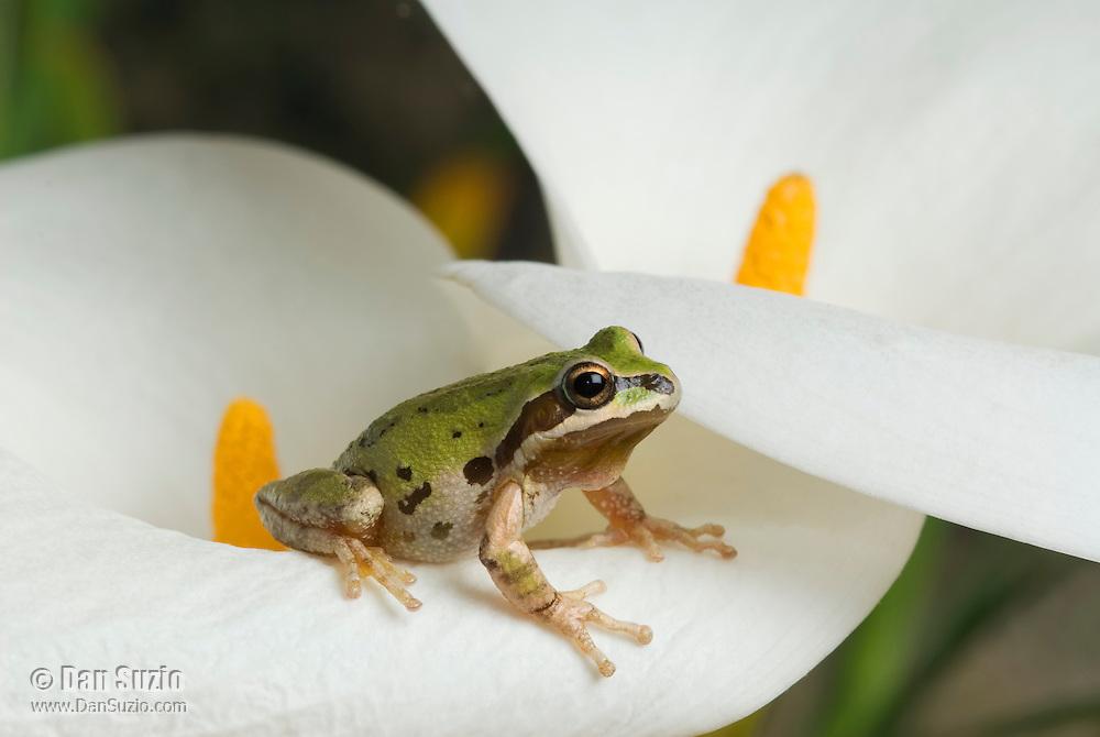 Pacific treefrog (Pacific chorus frog), Hyla regilla (Pseudacris regilla) on Calla lily, Zantedeschia aethiopica