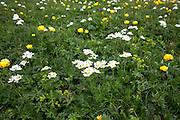 Alpine wildflowers, Globeflowers and Mountain Avens, Dryas octopetala in bloom below the Swiss Alps, Switzerland
