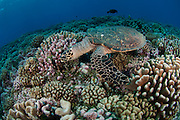A Hawksbill Sea Turtle,  Eretmochelys imbricata, feeds in Tiputa Pass, Rangiroa, French Polynesia.