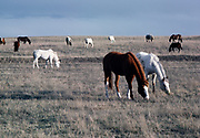 Horses grazing in central Montana.