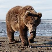 Brown bear close up. Alaska.