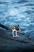 The American oystercatcher (Haematopus palliatus) Fernandina Island, Galapagos. Ecuador, South America